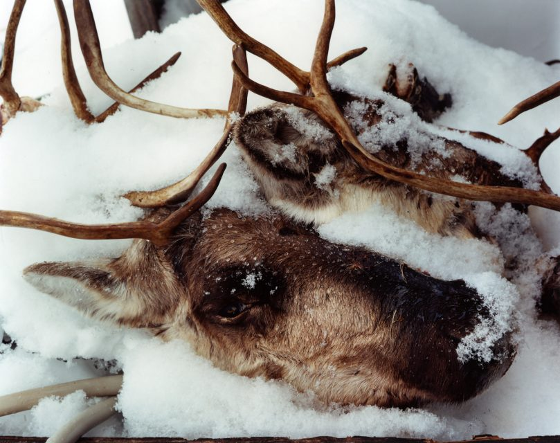Two Caribou heads - The Last Days Of Shishmaref